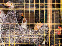 Hens in cages Royalty Free Stock Photography
