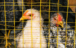Hens in cages Royalty Free Stock Photo