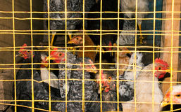 Hens in cages Stock Photo