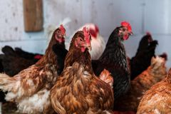 Hens in a chicken coop. Group of laying hens in their chicken coop royalty free stock photography