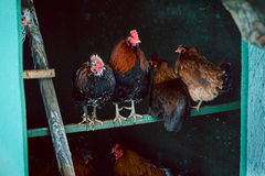 Hens in a chicken coop Royalty Free Stock Images