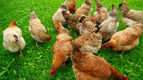 Hens chicken farm Royalty Free Stock Image