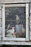 Hens in a chicken hoop Stock Images