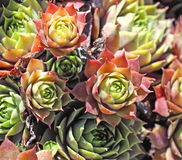 Hens and chickens perennial plant Stock Photos