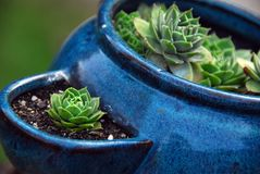 Hens and Chicks. A blue pot of hens and chickens (the plant royalty free stock images