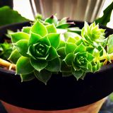 Hens and Chicks. Hens and chick plant in a pot Royalty Free Stock Photography