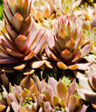 Hens And chicks Close-up. A collection of the plant know as Hens and chicks getting close to blooming in yellows and orange and green Royalty Free Stock Image