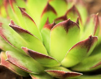 Hens and Chicks Stock Photo