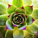 Hens and chicks. Royalty Free Stock Images