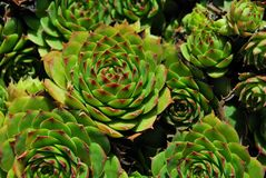 Hens and chicks Stock Image