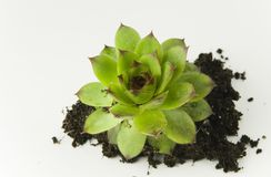 Hens and Chicks plant Stock Photo