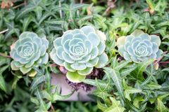 Hens and Chicks in plants, flowers. Interiors garden at home concept.n Stock Photography