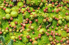 Hens and Chicks Sempervivum. A background of Hens and Chicks Royalty Free Stock Photo