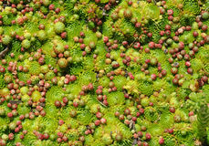 Hens and Chicks Sempervivum. A carpet of Hens and Chicks in the garden Royalty Free Stock Photography