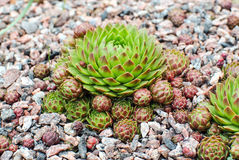 Hens and chicks Stock Photography