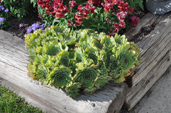 Hens and Chicks Sempervivum. Hens and Chicks in a raised bed garden Stock Photography