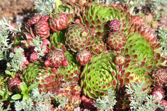 Hens and Chicks - Sempervivum soboliferum Royalty Free Stock Images