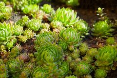 Hens-and-Chicks succulent plants. Overhead of houseleek -. Hens-and-Chicks Sempervivum tectorum or Echeveria elegans succulent plants. Overhead of houseleek stock photo