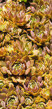 Hens And Chicks Various Forms Royalty Free Stock Photo