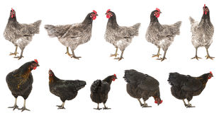 Hens collection Stock Photography