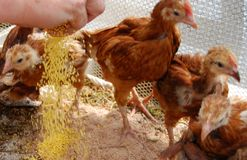 Hens in a coop. Four hens in a coop Royalty Free Stock Images