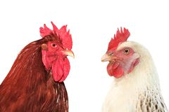 Hens in coop. Hens in coop, close up image Stock Image