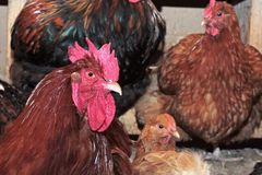 Hens in coop. Royalty Free Stock Photo