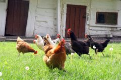 Hens on country backyard Royalty Free Stock Photo
