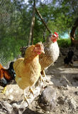 Hens. Criollo kennel in rural farm Stock Images