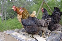 Hens. Criollo kennel in rural farm Stock Photo