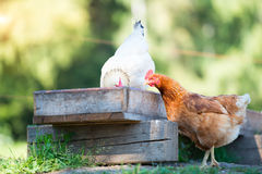 Hens eat from the manger Stock Photography