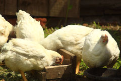 Hens eat on the poultry farm Royalty Free Stock Photography