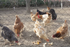 Hens eating behind the wired yard Stock Images
