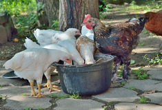 Hens eating 7 Stock Image