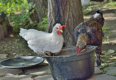 Hens eating 2 Royalty Free Stock Photos