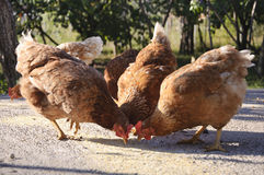 Hens eating in yard Stock Photo