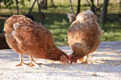 Hens eating in yard Royalty Free Stock Image