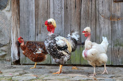 Hens family poses in open-air museum in Olsztynek (Poland) Stock Images