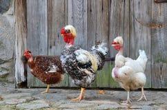 Hens family poses in open-air museum in Olsztynek (Poland) Stock Images