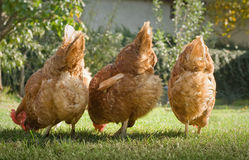 Hens in the farm Royalty Free Stock Photography