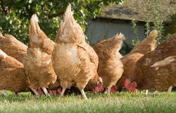 Hens in the farm Stock Photos