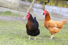 Hens on the farm Royalty Free Stock Photography