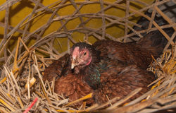 Hens in farm Stock Photography