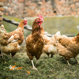 Hens in a farmyard Royalty Free Stock Image