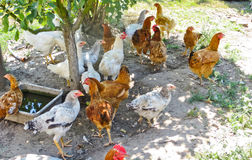 Hens on a farmyard Stock Photography