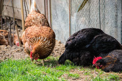 Hens feed on the traditional rural barnyard. Chicken standing on barn yard with the chicken coop. Free range poultry farming Stock Image