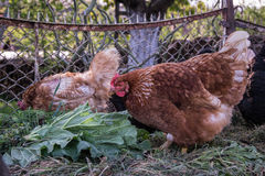 Hens feed on the traditional rural barnyard. Chicken standing on barn yard with the chicken coop. Free range poultry farming Royalty Free Stock Photography