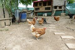 Hens feed on the traditional rural barnyard. Hen standing in grass on rural garden in countryside. Close up of chicken Royalty Free Stock Images