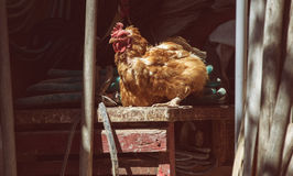 Hens feed on the traditional rural barnyard at sunny day. Chickens sitting on working tools in old shed. Close up of chicken. Standing on barn yard with the Royalty Free Stock Photo