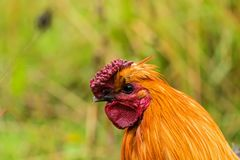 Close-up picture about one of the genetically clear hens royalty free stock images